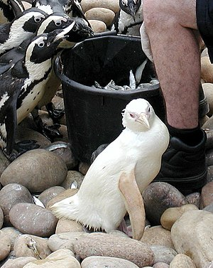 Snowdrop, an albino African Penguin, born in B...