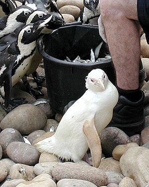Snowdrop, an albino African Penguin, born in B...