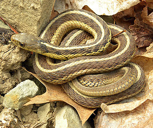English: Thamnophis sirtalis sirtalis (Eastern...