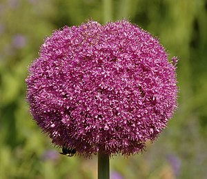 Picture of a flower head of an Allium 'Lucy Ba...