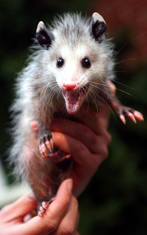 English: Image of a juvenile opossum exhibitin...