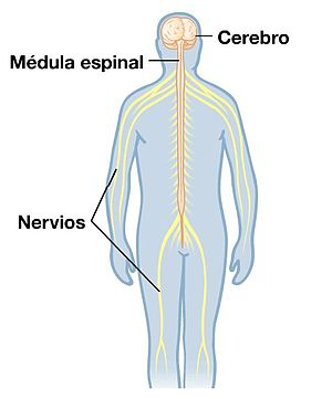 Cerebros y nervios