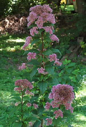 Eupatorium dubium 'Little Joe' Plant
