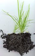 Una gramínea (Monocotyledoneae: Poaceae)