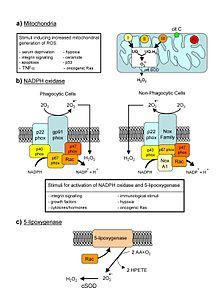 Reactive oxygen species - Wikipedia