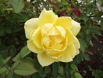 English: Rosa 'Mellow Yellow' at the Inez Gran...