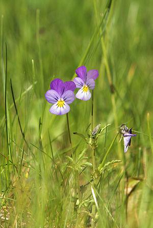 Heartsease (Viola tricolor) Français : Pensée ...