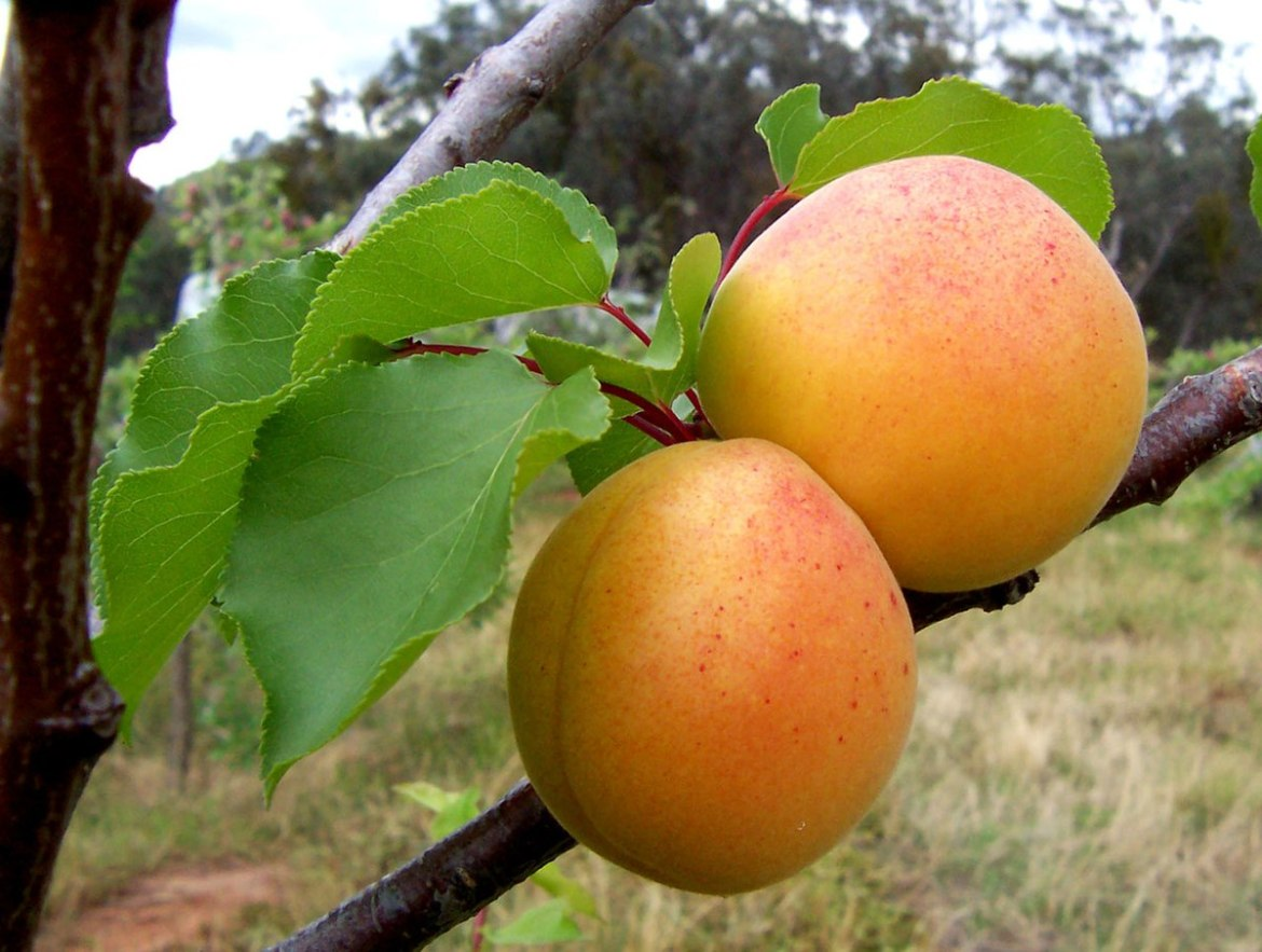 Image result for apricot