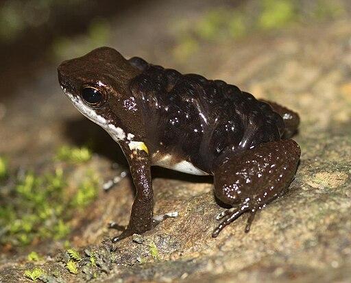 Common rocket frog with tadpoles crop