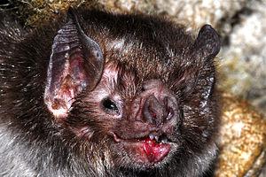 The common vampire bat, Desmodus rotundus (Mam...