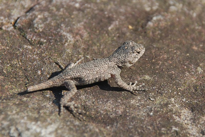 My Child Caught A Fence Lizard What Should I Do Critter Squad