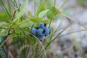 English: Five ripe blueberries.