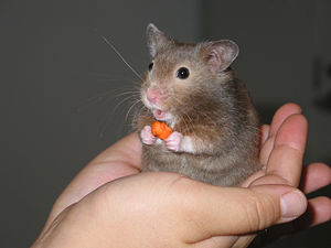 "English: A short-haired hamster (named ""E..."