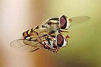 Hoverflies (Melangyna viridiceps) mating in mi...