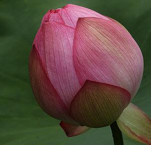 LotusEmerging0041