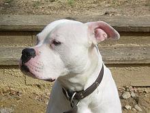 220px Scott type American Bulldog All About Pitbull Dog Breed