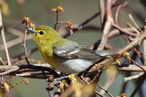 Yellow-throated Vireo. Rondeau Provincial Park...