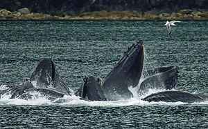 Humpback whales in North Pass between Lincoln ...