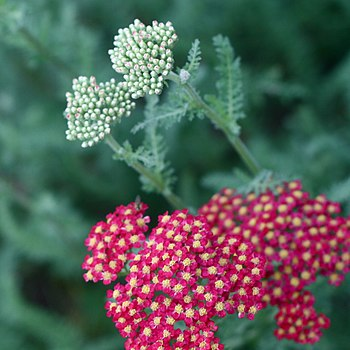 English: Achillea millefolium - Common Yarrow