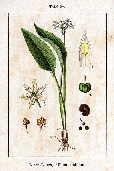 File:Allium ursinum Sturm36.jpg