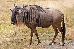 English: A Blue Wildebeest (Connochaetes tauri...