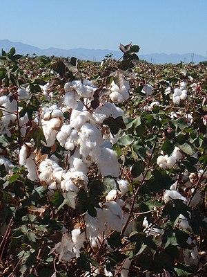 Cotton field outside Safford, Arizona