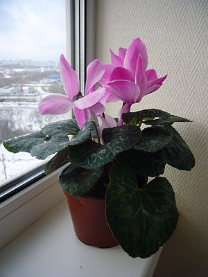 English: Cyclamen as a house-plant. Русский: К...