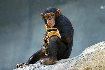 Chimpanzee. Taken at the Los Angeles Zoo.