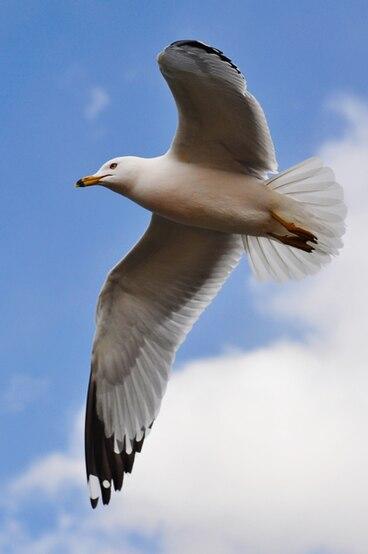 Seagull in flight by Jiyang Chen.jpg