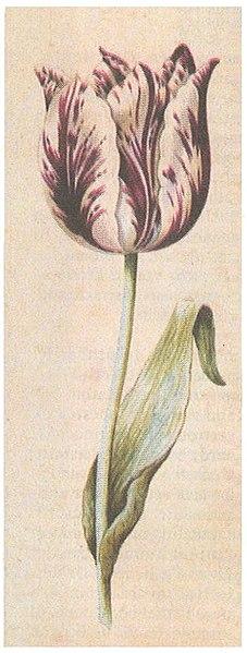 File:Tulipa Viceroy door Anthony Claesz. rond 1640.jpg