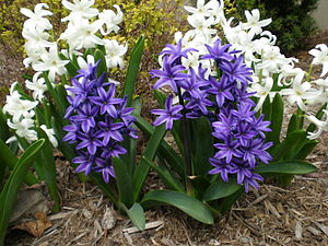 English: White and purple hyacinths