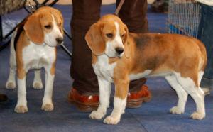 Polski: Beagle rasa psów