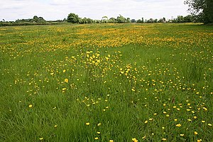 English: Buttercup meadow The shorter creeping...