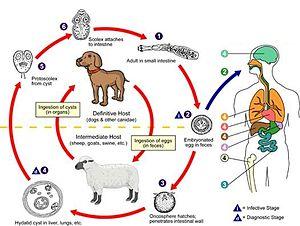 English: Echinococcus Life Cycle
