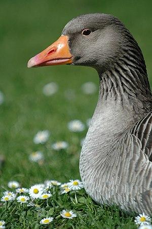 Daisy goose 2