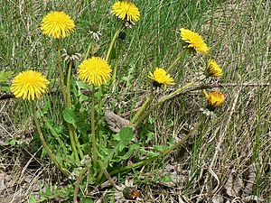 English: Dandelions in Kirkstall. Dandelions a...
