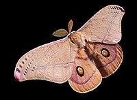Ngengat Emperor Gum, Opodiphthera eucalypti