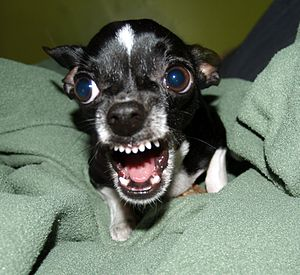 A Chihuahua protecting its bone. Photographer'...