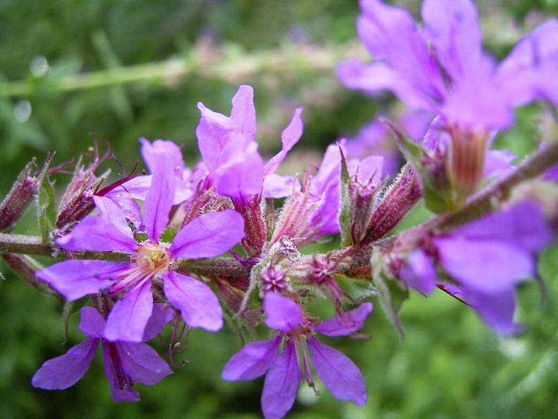 lythrum salicaria plante mellifere gros plan