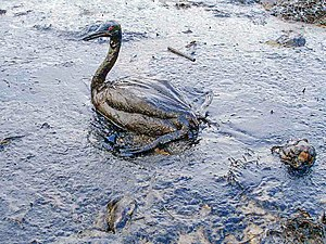 Oiled Bird - Black Sea Oil Spill