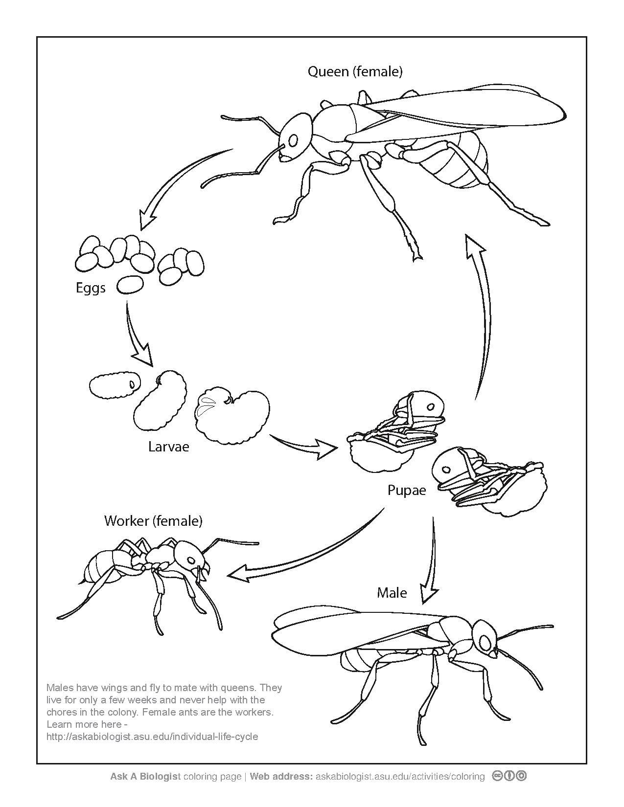 File Ant Life Cycle Coloring Page