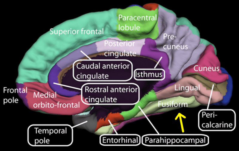 File:Medial surface of cerebral cortex - fusiform gyrus.png