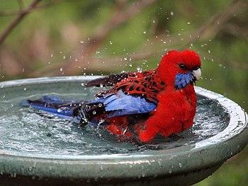 A Crimson Rosella in a bird bath Canberra, Aus...