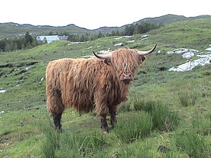 English: A Highland cow on Lewis Island, Scotland.