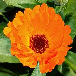 Marigold top (aka).jpg