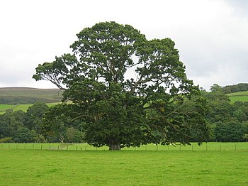 English: Oak Tree