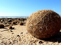 Bolas que indican la presencia de una pradera de Posidonia
