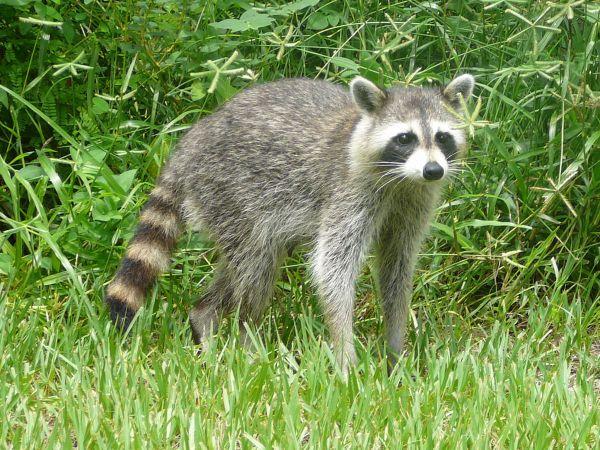 raccoon - Wiktionary