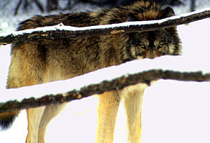 English: A wolf. Español: Un lobo.