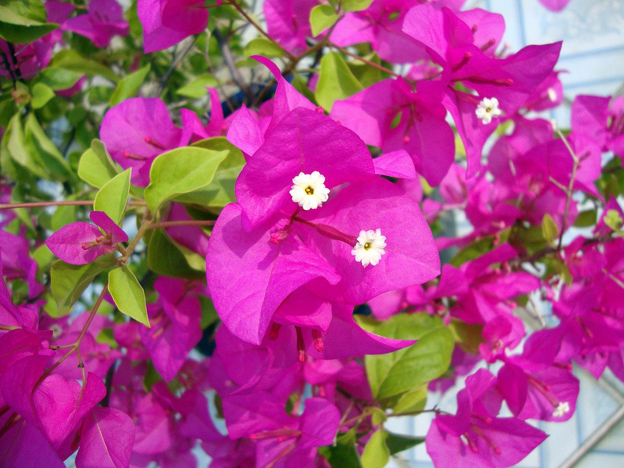 fleurs grimpantes pour grillage